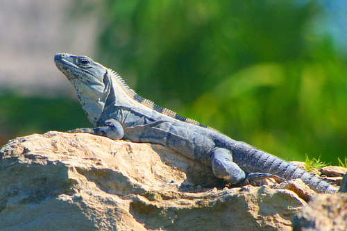 Mayakoba lizard